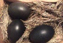 oua negre