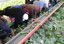 romani la munca in agricultura